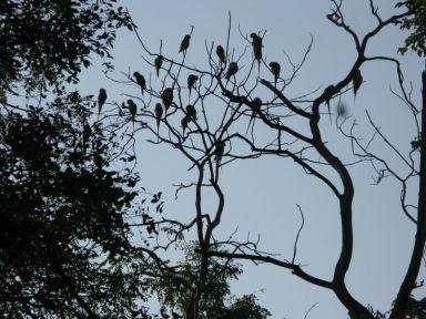 parakeets roosting